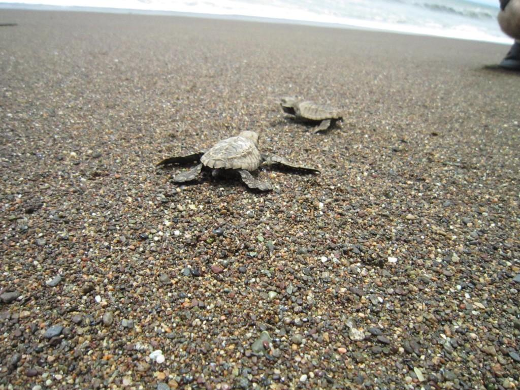 Two turtles on the beach heading toward the sea.